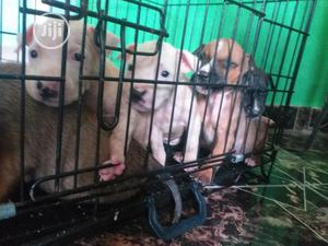 Baby Female Purebred American Pit Bull Terrier | Dogs & Puppies for sale in Lagos State, Maryland