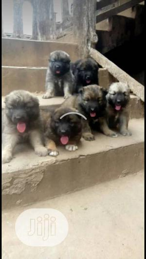 1-3 Month Male Purebred Caucasian Shepherd | Dogs & Puppies for sale in Lagos State, Ajah