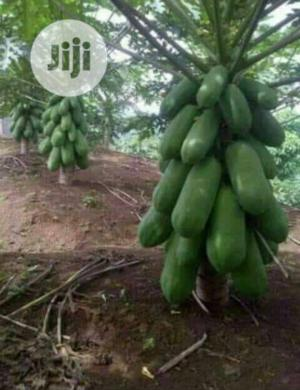 Dwarf Pawpaw Seedlings For Sale At Affordable Prize | Feeds, Supplements & Seeds for sale in Oyo State, Ona-Ara