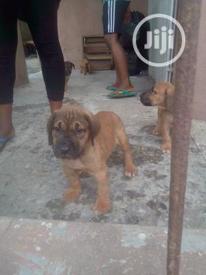 Baby Male Purebred Boerboel | Dogs & Puppies for sale in Lagos State, Lagos Island (Eko)