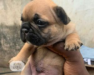 1-3 Month Female Purebred French Bulldog | Dogs & Puppies for sale in Lagos State, Ipaja
