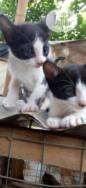 Baby Female Purebred | Cats & Kittens for sale in Lagos State, Ikorodu