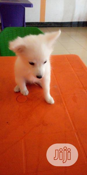 Baby Male Purebred American Eskimo | Dogs & Puppies for sale in Lagos State, Lekki