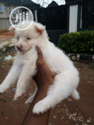 1-3 Month Male Purebred American Eskimo   Dogs & Puppies for sale in Edo State, Benin City