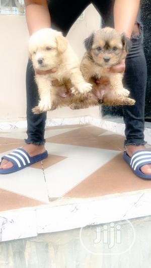 1-3 Month Male Purebred Lhasa Apso | Dogs & Puppies for sale in Lagos State, Magodo