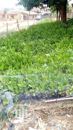 Dwarf Hybrid Cashew Seedlings And Hybrid Suckers For Sale | Feeds, Supplements & Seeds for sale in Oyo State, Ibadan