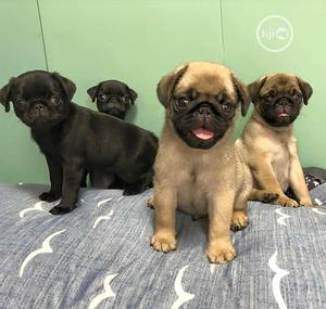 Baby Female Purebred Pug   Dogs & Puppies for sale in Lagos State, Ikorodu