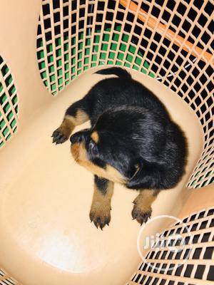 0-1 Month Female Purebred Rottweiler   Dogs & Puppies for sale in Ekiti State, Ado Ekiti