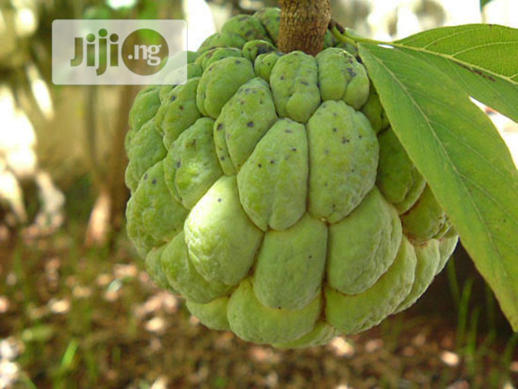 Sweetsop Seeds And Sweet Sop Seedlings Or Sugar Apple Seed