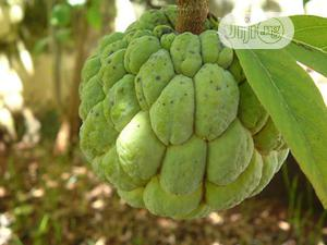 Sweetsop Seeds And Sweet Sop Seedlings Or Sugar Apple Seed | Feeds, Supplements & Seeds for sale in Plateau State, Jos