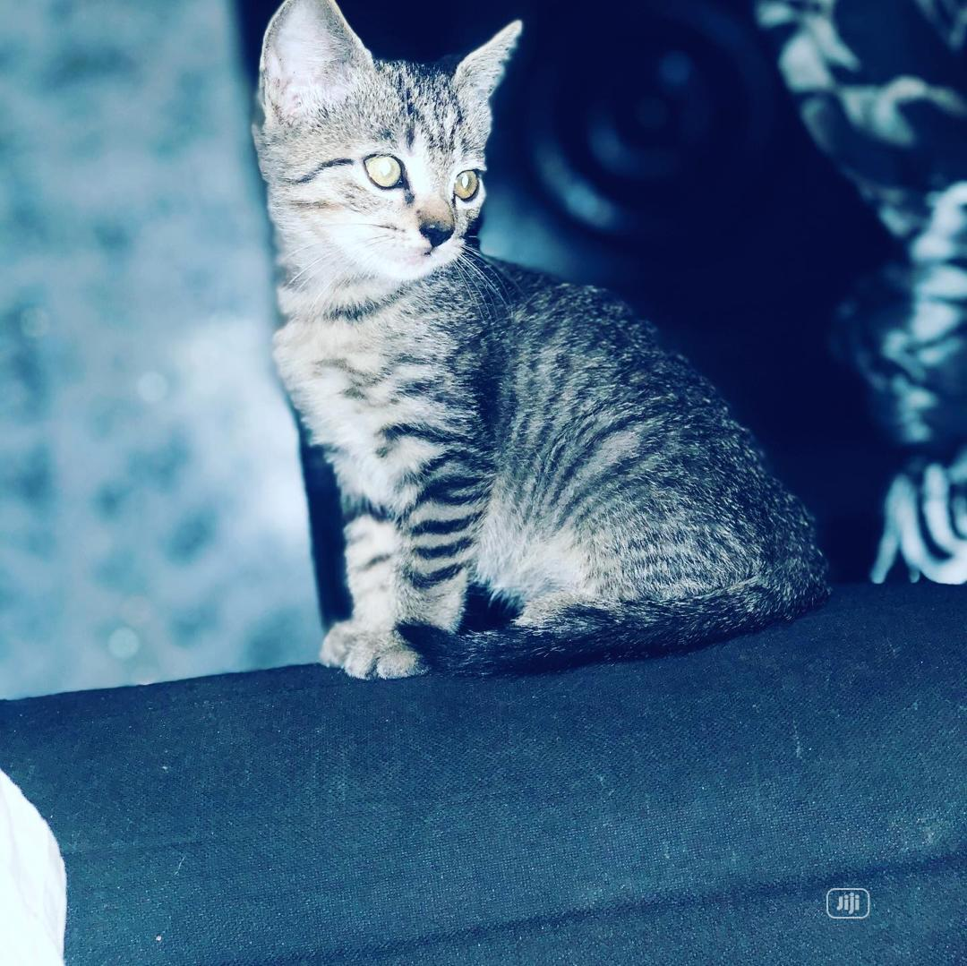Archive: Young Male Purebred British Shorthair