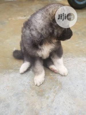 1-3 Month Female Purebred Caucasian Shepherd | Dogs & Puppies for sale in Abuja (FCT) State, Dei-Dei