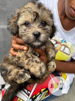 Baby Male Purebred Lhasa Apso | Dogs & Puppies for sale in Lagos State, Magodo