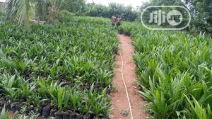 Dwarf Tenera Oil Palm Seedlings | Feeds, Supplements & Seeds for sale in Edo State, Benin City