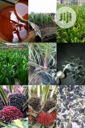 Hybrid Dwarf Agric Palm Seedlings | Feeds, Supplements & Seeds for sale in Edo State, Benin City