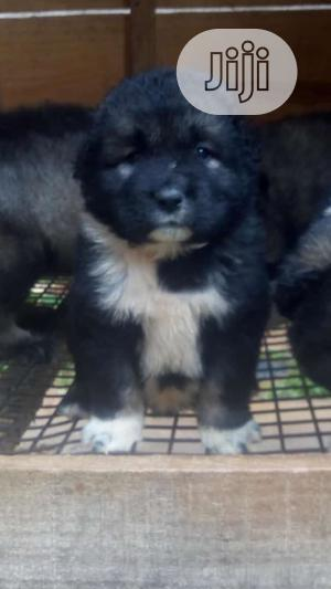 1-3 Month Male Purebred Caucasian Shepherd | Dogs & Puppies for sale in Ogun State, Abeokuta South