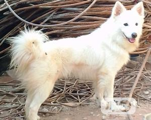 Adult Male Purebred American Eskimo | Dogs & Puppies for sale in Ogun State, Abeokuta South