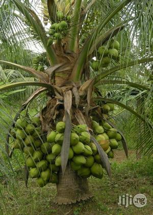 Dwarf Coconut Agric Seed   Feeds, Supplements & Seeds for sale in Abuja (FCT) State, Kubwa