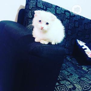 Young Male Purebred Scottish Fold | Cats & Kittens for sale in Lagos State, Lekki