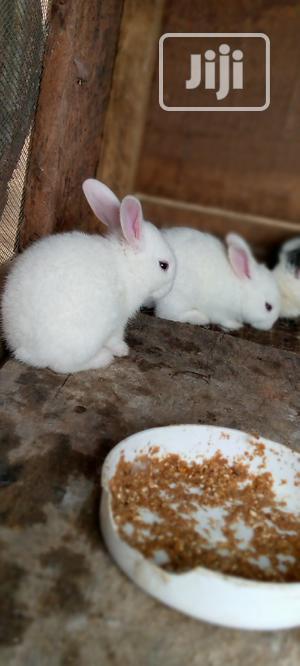 Olabams2 Rabbit Farm   Livestock & Poultry for sale in Ogun State, Abeokuta South