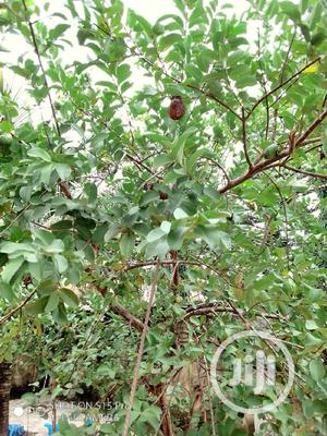 Guava And Other Fruit Trees Fertilizing,Treatment, And Sales | Landscaping & Gardening Services for sale in Lagos State, Victoria Island
