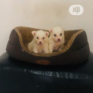 Young Female Purebred American Eskimo | Dogs & Puppies for sale in Lagos State, Maryland