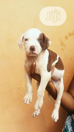 1-3 Month Female Purebred American Pit Bull Terrier | Dogs & Puppies for sale in Edo State, Benin City