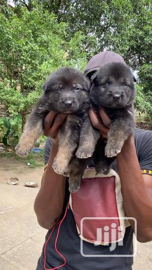 1-3 Month Male Purebred German Shepherd   Dogs & Puppies for sale in Lagos State, Lekki