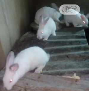 Pure Mature Hyla Max And Hyla Ng Rabbits For Sale | Livestock & Poultry for sale in Osun State, Osogbo
