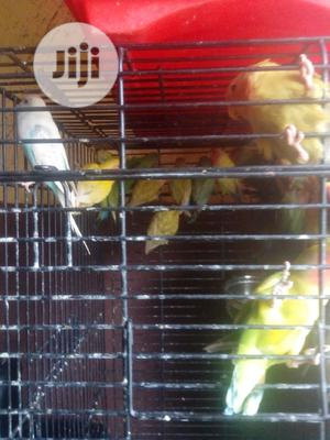 Any Kinds Of Love Birds Is Available For Sales.   Birds for sale in Lagos State, Badagry