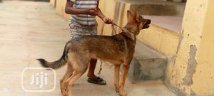 Young Male Purebred German Shepherd   Dogs & Puppies for sale in Kwara State, Ilorin South