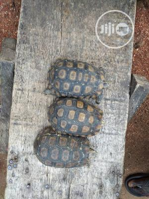 Giant Tortoise   Reptiles for sale in Lagos State, Surulere
