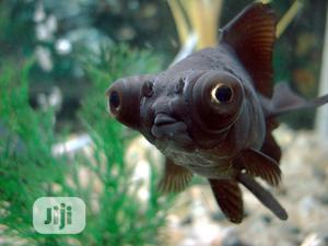 Black Morr Aquarium Fish   Fish for sale in Lagos State, Surulere