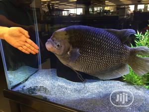 Tilapia Aquarium Fish   Fish for sale in Lagos State, Surulere
