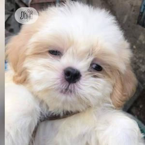 Baby Male Purebred Lhasa Apso   Dogs & Puppies for sale in Lagos State, Surulere
