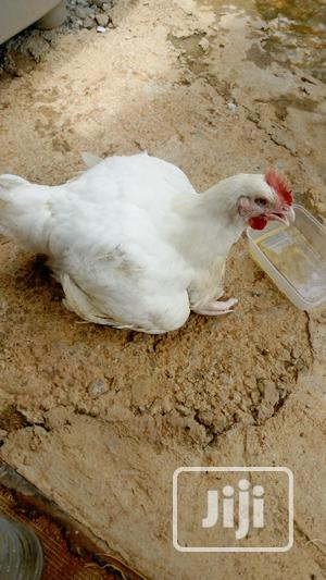 Live Broiler Chicken   Livestock & Poultry for sale in Abuja (FCT) State, Asokoro