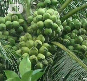 Hybrid Dwarf Green Coconut Seedlings | Feeds, Supplements & Seeds for sale in Delta State, Aniocha South