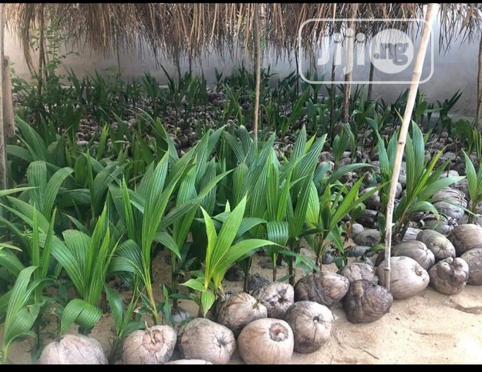 Archive: Hybrid Dwarf Green Coconut Seedlings