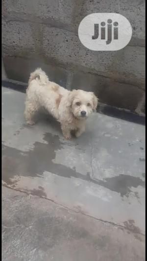 Adult Male Purebred Lhasa Apso | Dogs & Puppies for sale in Lagos State, Ojodu