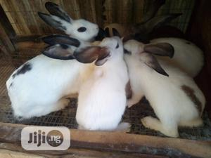 Hybrid Rabbits For Sale | Livestock & Poultry for sale in Osun State, Osogbo