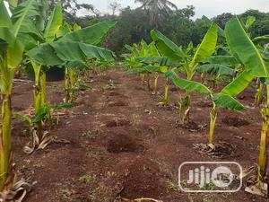 Plantain Suckers   Feeds, Supplements & Seeds for sale in Lagos State, Ajah