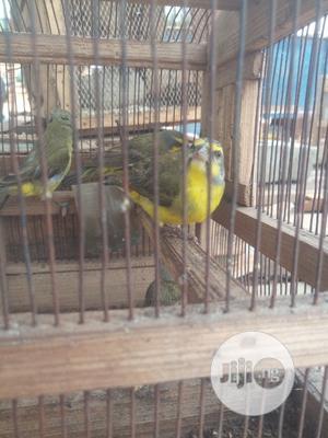 Canary,PARROTS Yellow Birds,Columbidae-columba Pigeon Birds. | Birds for sale in Lagos State, Ikorodu
