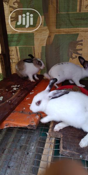 Rabbits For Sale | Livestock & Poultry for sale in Lagos State, Ifako-Ijaiye