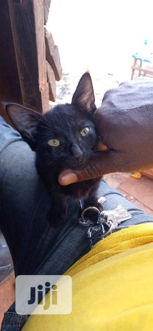 Young Female Purebred Bombay | Cats & Kittens for sale in Lagos State, Ikorodu