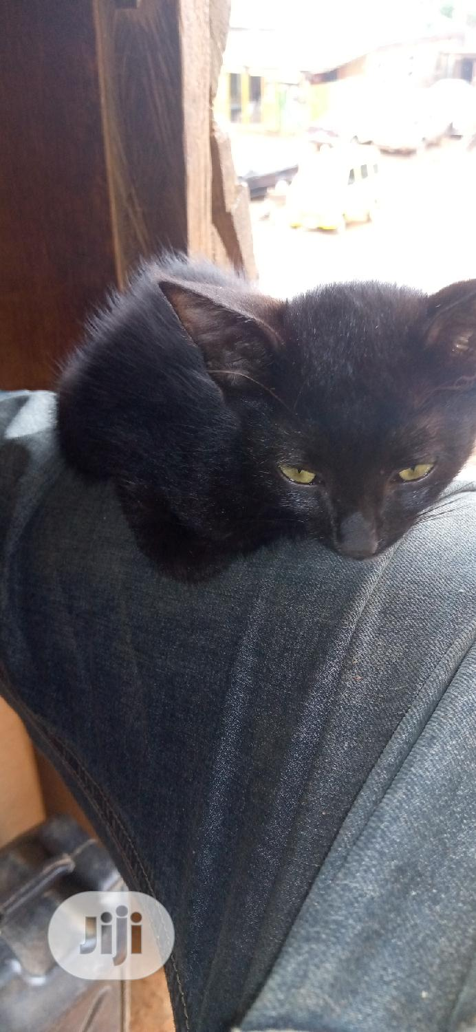 Young Female Purebred Bombay | Cats & Kittens for sale in Ikorodu, Lagos State, Nigeria