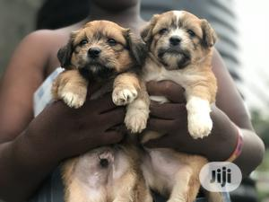1-3 Month Female Purebred Lhasa Apso   Dogs & Puppies for sale in Lagos State, Amuwo-Odofin