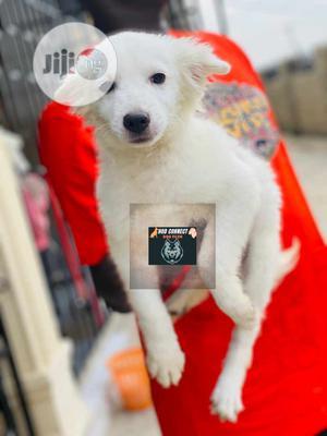 3-6 Month Male Purebred American Eskimo | Dogs & Puppies for sale in Ekiti State, Ado Ekiti