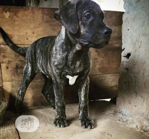 Baby Male Purebred Boerboel   Dogs & Puppies for sale in Ogun State, Abeokuta South