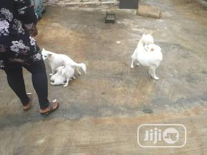 Young Female Purebred American Eskimo | Dogs & Puppies for sale in Delta State, Udu