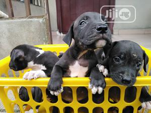 Baby Male Purebred American Pit Bull Terrier | Dogs & Puppies for sale in Rivers State, Port-Harcourt